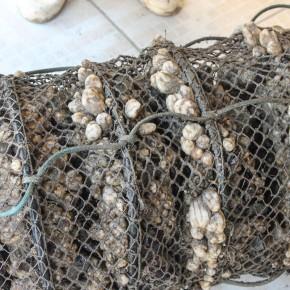 bailey-counts-tunicates